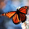 10/09/14 - Monarch in the Late Day Light