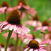 07/01/14 - Coneflower and Bee