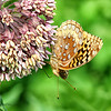 08/26/14 - Butterfly and Milkweed