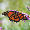 10/11/14 - Monarch on Purple Butterfly Bush