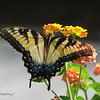 07/22/15 - Swallowtail on Lantana