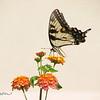 08/05/15 - Swallowtail