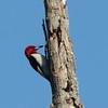 06/16/15 - Red Headed Woodpecker