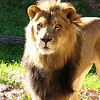 "12/30/09 - Alert Lion<br /> First let me say that the kids and I had an excellent time at the NC Zoo in Asheboro yesterday.  The temp was in the low 40s with a 10mph NW wind, but we were bundled correctly, and all the walking kept us completely warm and comfy.  The zoo is about 85 miles one way from my house, and the kids always enjoy the DVD player on the ride.  G-Force was one of the things they watched yesterday.  We got to the zoo around 11:30 and were leaving the parking lot around 4:30.  Not as long a trip as we'd do on a warmer, summer day but we got to walk the entire zoo and see plenty.  If you've never been to this zoo, it's laid out in such a way that it's HUGE.  There's a North America entrance and an Africa entrance.  If you have the stamina, you start out at one end and walk all the way to the other and then take the shuttle back (6-7 hours later).  Lots of natural habitats and things to do along the way.  <br /> <br /> The main excitement for us yesterday was actually seeing the lions awake (1 male and 1 female).  Honestly, the last 5 or so trips to this zoo they've been asleep.  As we approached their habitat, we heard the male let out one loud roar!  Wow!  At that, we ran to see what was going on.  Luckily, he continued to put on a show for a few minutes.  I have pictures of him showing his teeth, laying in the typical lion pose, coughing, seeing the Mrs., etc.  The kids and I were thrilled especially Joey who is a huge fan of lions.  His lovey is a Lovey the Lion:-)  He is such an animal lover.<br /> <br /> Today will be somewhat a day of recovery:-)  Tomorrow...Marbles Kids Museum.  Thankfully, that is just in downtown Raleigh and not 100+ miles away!<br /> <br /> Beautiful blue sky yesterday for our trip.  Lots of neat foliage in the zoo that I enjoyed taking pictures of.  Honestly, I enjoy the plants as much as the animals.<br /> <br /> More zoo shots here:<br /> <a href=""http://fotomom.smugmug.com/NC-Zoo-1/NC-Zoo-122909/10797328_y56wU#752759578_9QMgR"">http://fotomom.smugmug.com/NC-Zoo-1/NC-Zoo-122909/10797328_y56wU#752759578_9QMgR</a><br /> There are 3 collages at the very end of the gallery (what I almost posted today).<br /> <br /> Thanks for your comments on the woodpecker.  Now that I know he's out there on that tree a lot, I'll be looking for him again.  <br /> <br /> HAGD,<br /> Maryann"