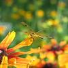 07/24/15 - Home Depot Has Dragonflies Too